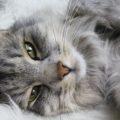Sibirische Katzen
